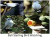 238-bali-starling-bird-watching