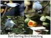 238-bali-starling-bird-watching