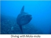 241-diving-with-mola-mola